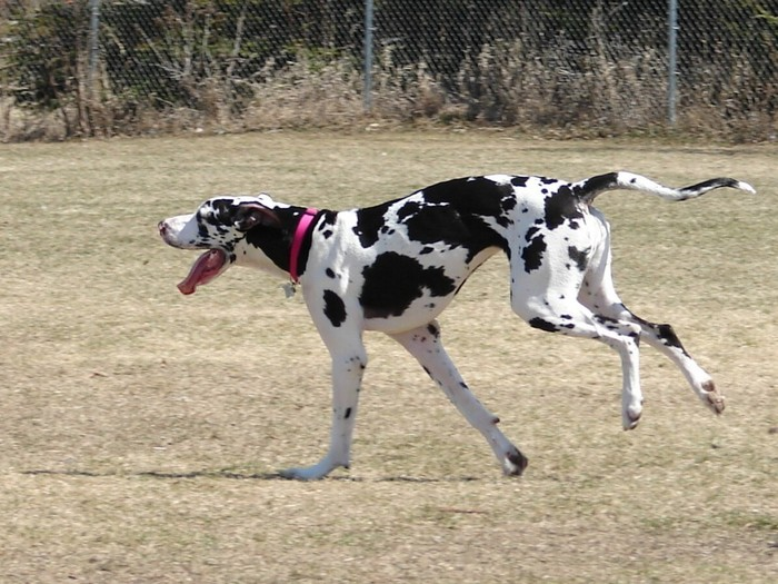 Learn about your Great Dane's likely health problems and screen for them-he'll thank you!