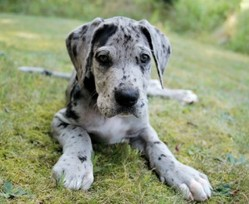 Help her have a long happy life by screening for common Great Dane health issues.