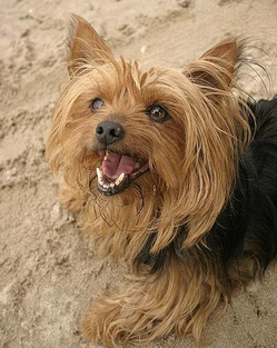 Yorkshire Terrier - Assisi Animal Health