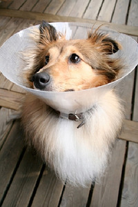 "The ""cone of shame"" or e-collar is one way to prevent a dog from licking it's wounds. There are new collars that have the same effect but aren't quite so awkward."