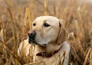 yellow-labrador-retriever