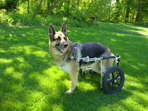 A shepherd with a doggie wheelchair- sometimes a solution for dysplasia or some stages of myelopathy.