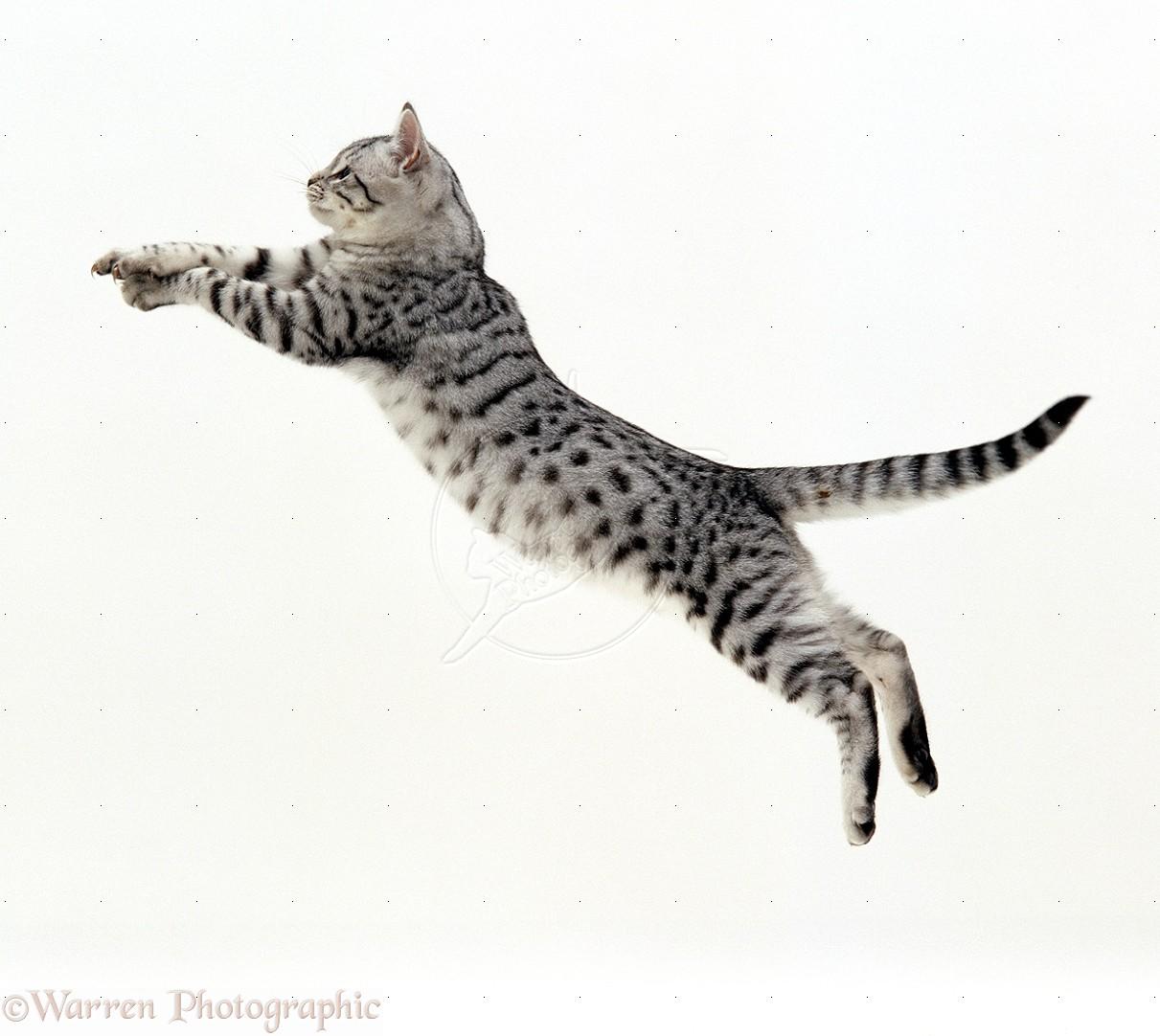 jumping-cat