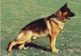 German Shepherds commonly get hip dysplasia late in life