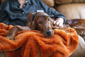 Irish Setter wearing a Calmer Canine in owners lap