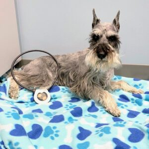 Schnauzer with Assisi Loop on his leg